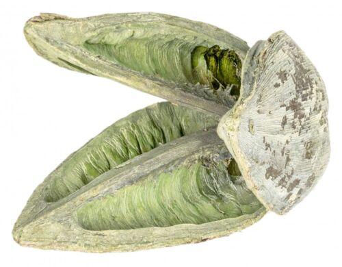 Nadeco ® sororoca Fruit Stone Washed vert environ 10-15 cmMadère HeadFlor
