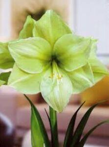 1 Amaryllis Bulbs Hardy Perennial Hippeastrum Plant Flowers Blue Yellow White