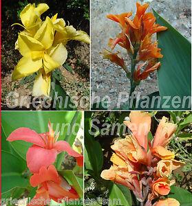 Canna-Indica-MIX-indisches-Blumenrohr-10-Samen