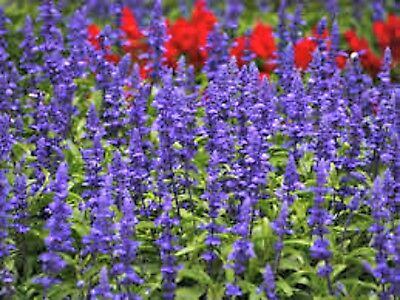 Blue Sage Mealy perennial 2-3 feet tall blue white blooms 80 seeds from Texas