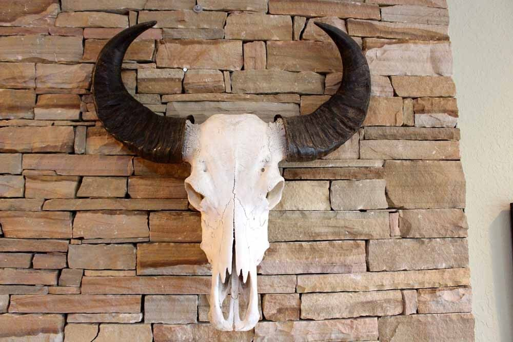 Water Buffalo Skull w  Extreme Curve Polished Horns Ready to Hang