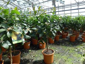 Zitronenbaum-Zitrone-stark-duftend-Pflanze-ca-80-100-cm-Citrus-Limone