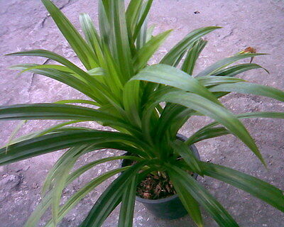TP05 Pandanus amaryllifolius Aromatic fragrant Plants 4 Pandan seedlings