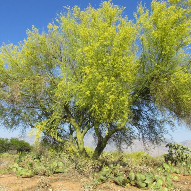 50 seeds blue palo verde tree parkinsonia florida green trunk bark 50 seeds blue palo verde tree parkinsonia florida green trunk bark yellow flower mightylinksfo