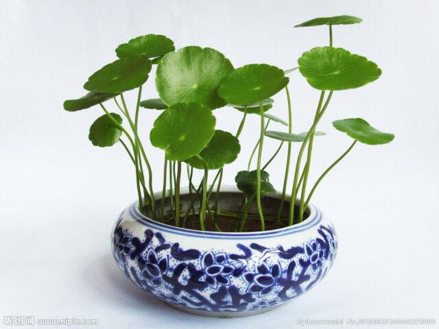 4 Plants ~ Money plant~copper coins 铜钱草~idea for bonsai ~ Free Postage~