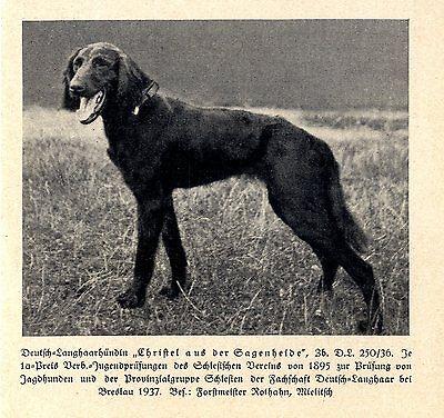 Analytisch Christel Von Der Saganheide Deutsch-langhaarhündin Jagdhunde & Züchter 1930-40 Ein Unbestimmt Neues Erscheinungsbild GewäHrleisten