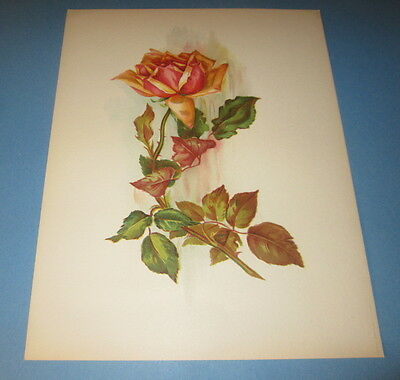 Old Vintage 1909 Antique - VICTORIAN PRINT - ROSE FLOWER