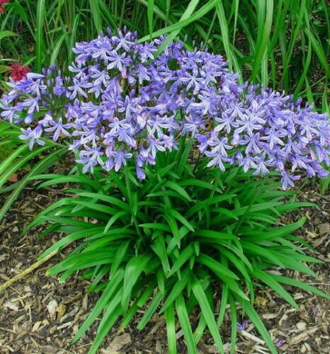 3 Nouveau Agapanthus STAR GAZER très bon jardin plante vivace ex 9 Cm Pots