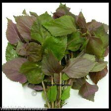 Vietnamese Red Perilla (Perilla Frutescens),shiso seed, tia to -1000 (1.5g) seed