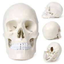 1x Life Size Human Anatomical Anatomy Head Skull Skeleton Medical Teaching Model