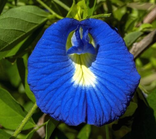 Klitoria Samen Anchan Tee Butterfly pea blaue Schamblume Clitoria ternatea