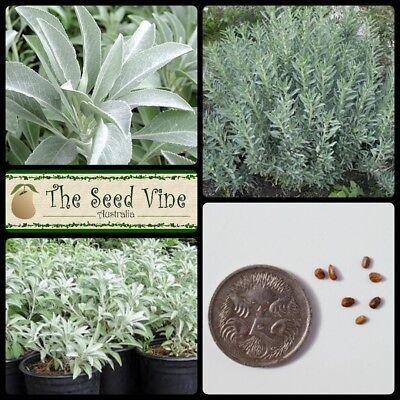 55 Graines Salvia Apiana White Sage Indian Herb seeds
