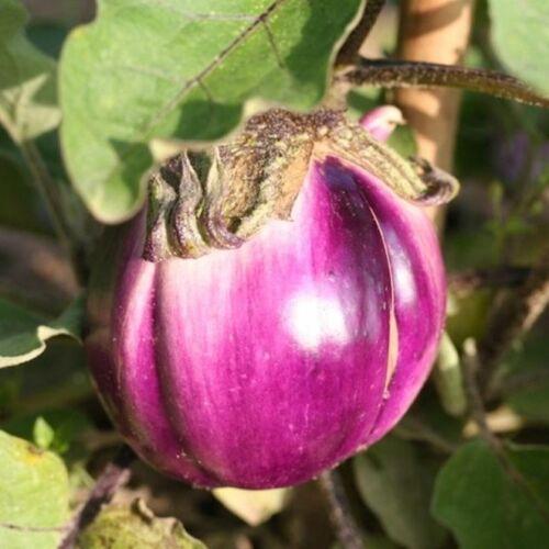 Légumes Aubergine Violetta di Firenze 500 graines