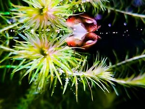 Mayaca-fluviatilis-porzione-10-steli-15-20cm-piante-acquario