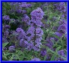 Dwarf Blue Butterfly Bush 50 Seeds Fast & Easy to grow! comb. S/H See store