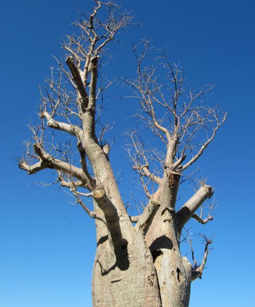 10 Samen Afrikanischer Affenbrotbaum (Adansonia digitata), Baobab