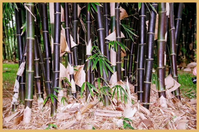 Timor Black bamboo 50 seeds (Bambusa lako) . Posted from Australia.
