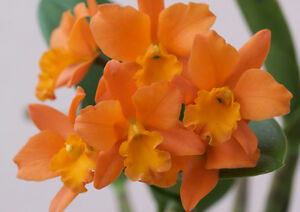 Rare-orchid-hybrid-near-bloom-Cattleya-Orange-Nugget