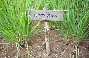 CITRONELLA-LEMON-GRASS-30-SEMI-OMAGGIO