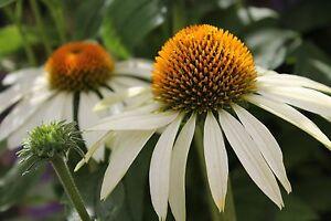 25-ECHINACEA-WHITE-SWAN-CONE-PERENNIAL-DEER-RESISTANT-FLOWER-SEEDS