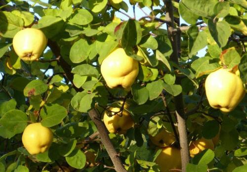 Quitte Riesenquitte GRATIS Quittenbaum Apfelquitte,Birnenquitte