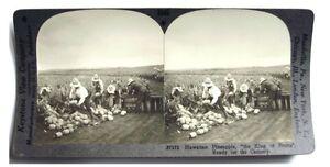 1910-Original-Stereoview-PINEAPPLE-FIELD-HAWAII
