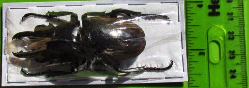 Sumatra Stag Beetle Odontolabis dalmanni dalmanni 60-65mm Male FAST FROM USA