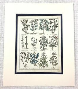 1810 Antico Botanico Stampa Wild Valeriana Pianta Trifoglio Erbe Mano Colorato