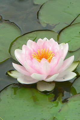 10 LIGHT PINK LOTUS Water Lily Pad Nymphaea Sp Pond Flower Seeds *Comb S/H