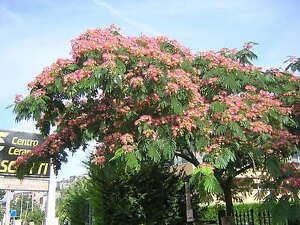 Albizia julibrissin fiore rosa 15 semi seeds acacia of for Acacia de constantinople prix