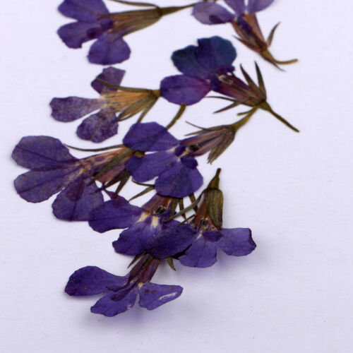 10pcs Pressed Real Lobelia Flower Dried Flowers for Jewelry Making Crafts
