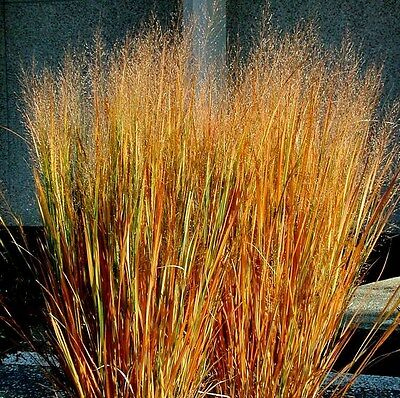 Dacotah Switch Grass- 100 Seeds