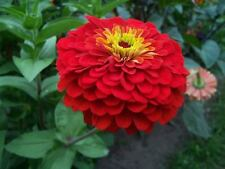 250 RED CHERRY QUEEN ZINNIA Elegans Flower Seeds CombSH