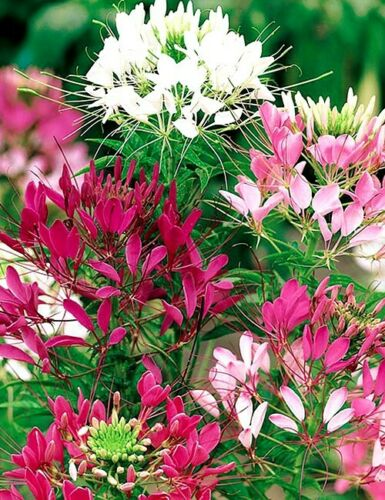 50 Cleome Mix Flower Seeds-Cleome Spinosa Spider Flower Mix-CLEOME HASSLERIANA