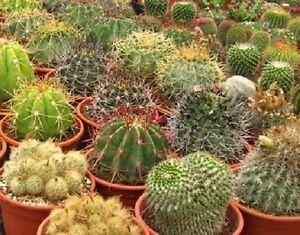Cactus-Seeds-Mix-Seeds-Cacti-100-Seeds
