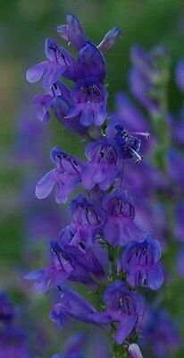 50+ PENSTEMON STRICTUS VIOLET BLUE FLOWER SEEDS / PERENNIAL