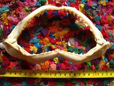 REEF SHARK JAW (21.5 x 12 cm) Jaws Teeth TAXIDERMY D