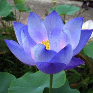 10 Flower Seeds Blue Lotus Seeds Aquatic Plants Water Lily Plants