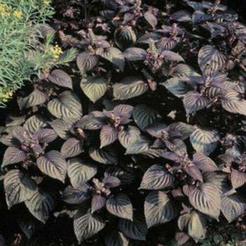 50 Seeds Beefsteak Plant