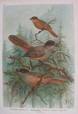 1905 GHIANDAIA Uccelli Naumann Ornitologia Perisoreus infaustus Ornithology