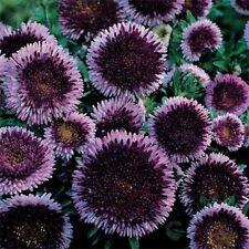 Aster- Pompon -Blue Moon- 50 seeds