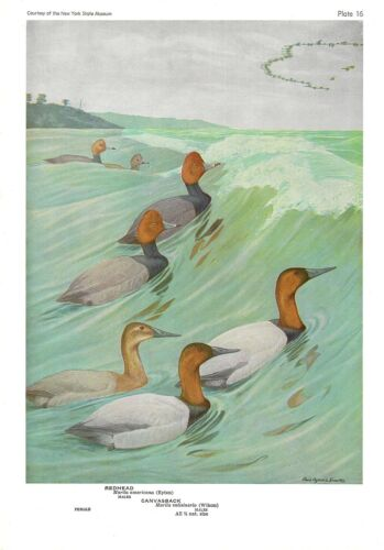 "1936 Vintage FUERTES BIRDS #16 /""REDHEAD /& CANVASBACK/"" Color Art Plate Lithograph"