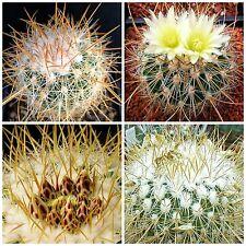 10 semi di Echinofossulocactus albatus ,piante grasse,seed cactus