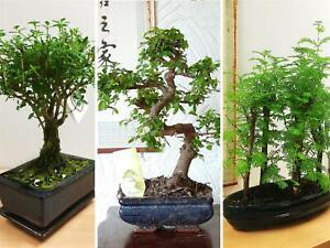 Details Sur Forestieres Traditionnelles Bonsai Pot Chinois Orme Ginseng Jardin Exterieur Plantes Afficher Le Titre D Origine