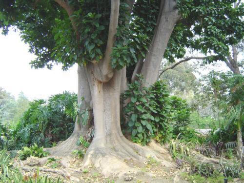 PHYTOLACCA DIOICA 100 semi seeds Ombù fitolacca arborea Elephant tree
