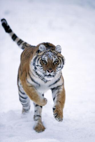 rennender Amur Ansichtskarte Tiger in der Tundra sehr schöne Aufnahme!