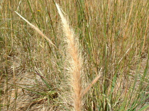 Dichelachne crinita seeds Long Hair Plume Grass 30