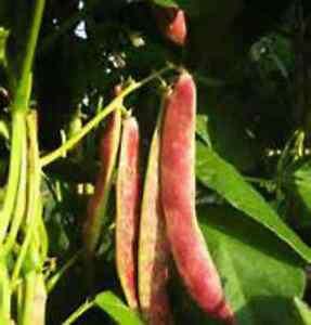 Red Kidney Bean Seeds Great Tasting And Easy To Grow 30 Seeds Combined S H Ebay