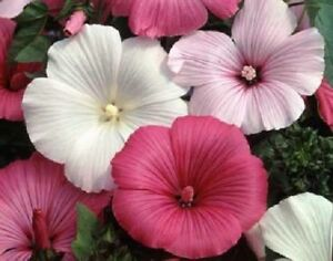 20 lavatera flower seeds mix rose mallow perennial early spring image is loading 20 lavatera flower seeds mix rose mallow perennial mightylinksfo