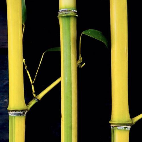 "1 Cold Hardy Screen /'Spectabilis/' Running Bamboo 12/""  Rhizome P. aureosulcata"